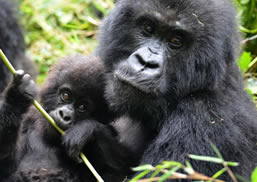 Mountain Gorillas in PNV