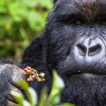 Gorilla Safaris in Bwindi Forest National Park