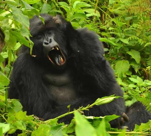 mountain gorillas in Rwanda' PNV