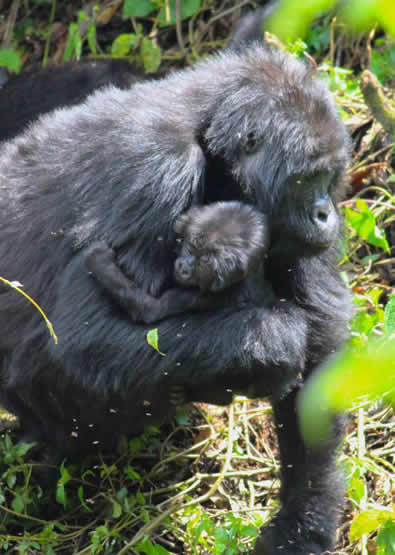 gorilla tracking in Volcanoes national park