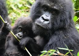 Mountain Gorillas in PNV