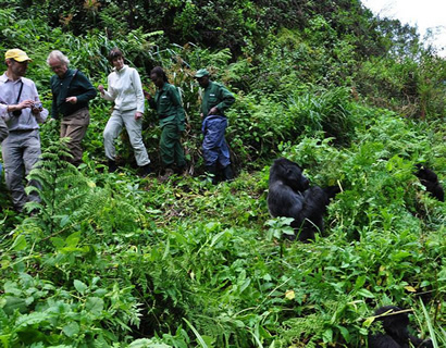 silverback gorilla tracking in rwanda