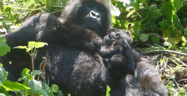 rwanda-gorilla-conservation