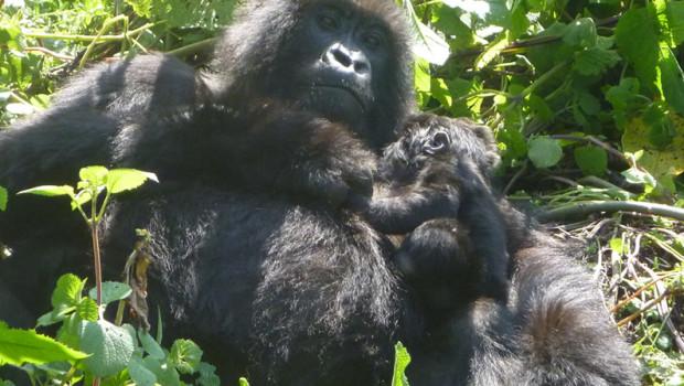 Rwanda Gorilla Tours a successful story of Gorilla Conservation in Rwanda