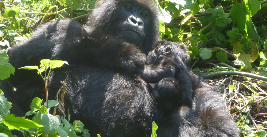 Rwanda Gorilla Tours a successful story of Gorilla Conservation in Rwanda