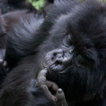 What you didn't know about Africa's mountain gorillas