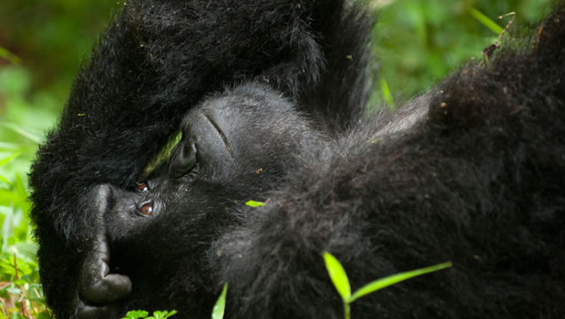 How responsible is gorilla trekking?