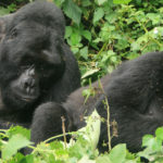 Mountain Gorilla Habituation Experience In Bwindi