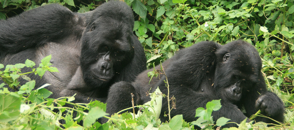 Measures being taken to conserve Mountain Gorillas in Africa