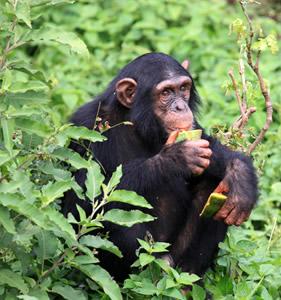 The-chimpanzee