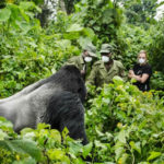Rwanda's Gorilla Habitat shrinking as Gorilla Number Grow
