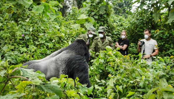 An insight into the struggle to protect the endangered mountain gorillas