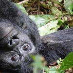 2018 Kwita Izina Ceremony in Rwanda- Gorilla Naming