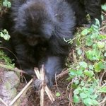 Mountain Gorillas Learn to Dismantle Poacher's Traps
