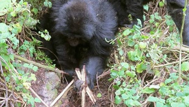 gorillas dismantle poachers traps