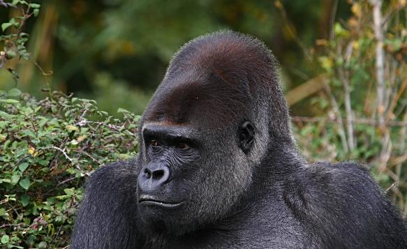 Eastern-Lowland-Gorillas