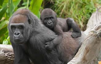 Eastern-lowland gorillas