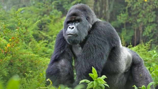 Rwanda Gorilla Safaris Decline After Price Hike