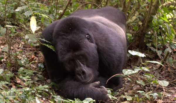 Conservation Efforts Help Mountain Gorillas To Thrive