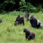 Congo Creates a New National Park For Gorillas & Elephants