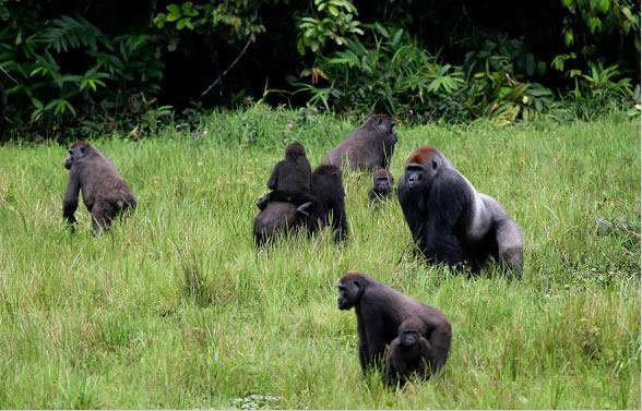 Congo Creates a New National Park For Gorillas & Elephants