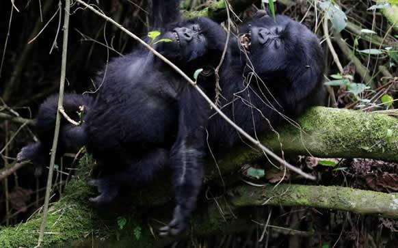 Mountain-Gorillas-Nolonger-Critically-Endangered