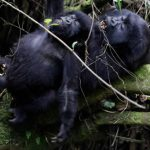 Mountain Gorillas Nolonger Critically Endangered