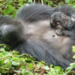 DRC To Ship Gorillas to Zimbabwe