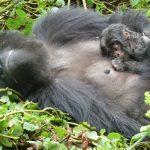 DRC To Ship Gorillas to Zimbabwe