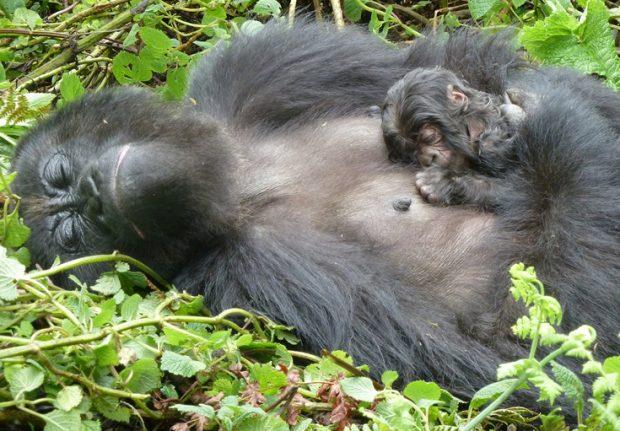 Congo-Gorilla-Safaris