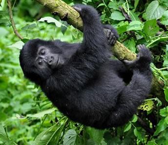 gorilla tracking in volcanoes national park
