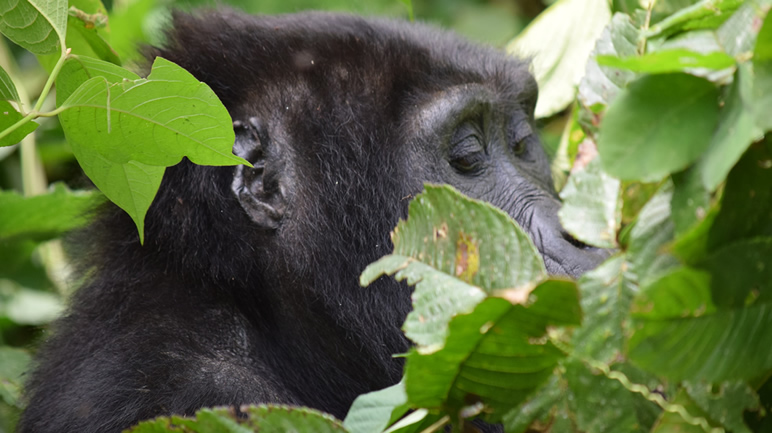 Gorillas in Rwanda Figure out Where to find sodium fix