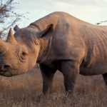 Rwanda to Receive Five Black Rhinos