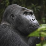 How To Book A Gorilla Trekking Permit In Congo