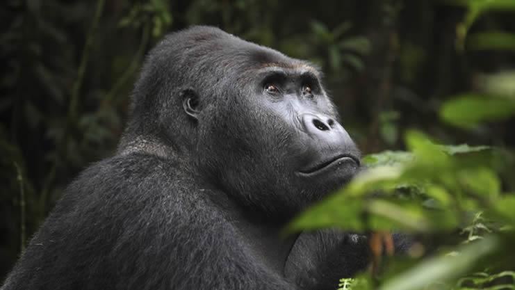 How To Book A Gorilla Trekking Permit In Congo