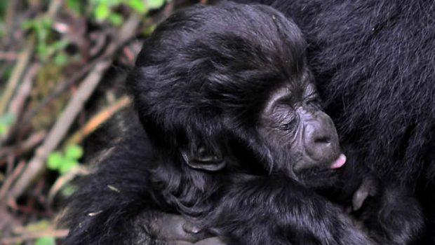 Names of Baby Gorillas at 2019 Kwita Izina