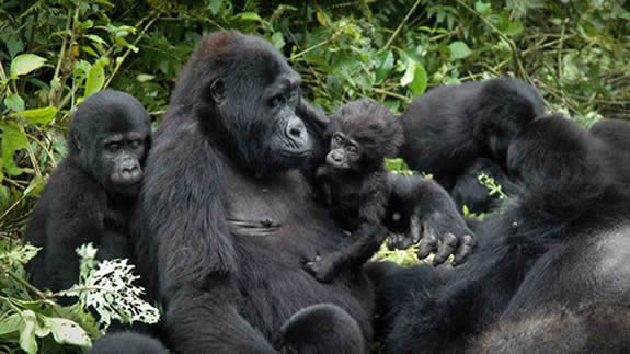Amazing facts about the behavior of mountain gorillas in their social groups