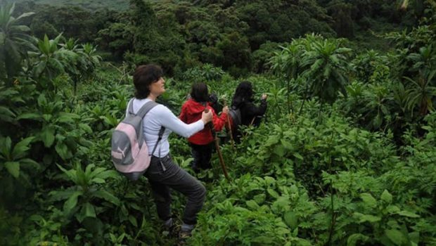 How Tough Is Gorilla Trekking In  Rwanda