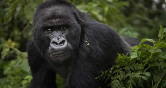 What is the secret behind the rising number of mountain gorillas?