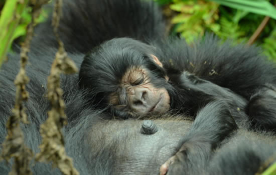Gorilla-infant