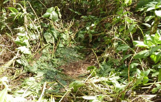 Gorilla-nest
