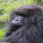 The night life of mountain gorillas