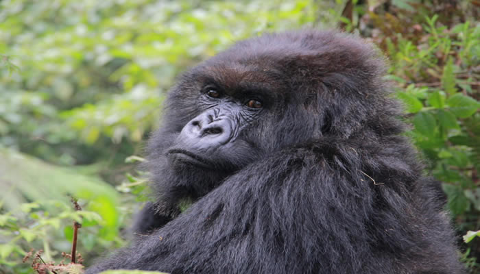 The night life of mountain gorillas