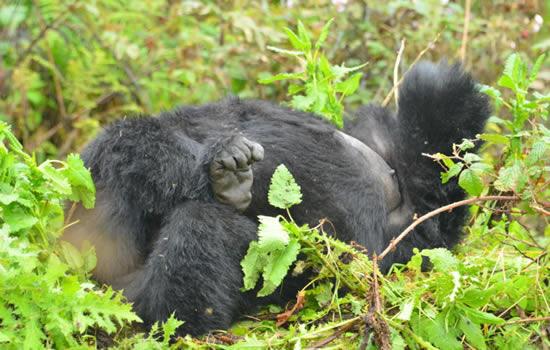 Gorilla-sleep-nest
