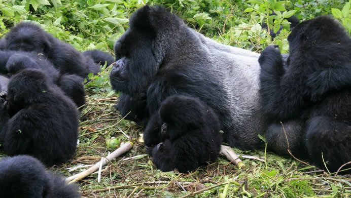 4 Rwandan Gorilla Killed by Lightening in Uganda