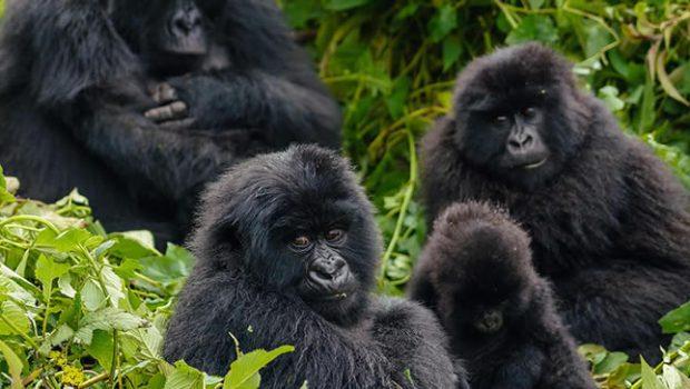 Hirwa Gorilla Family