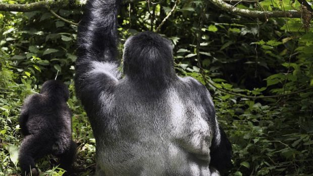 Agashya Gorilla Family