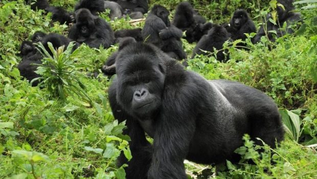 Gorilla Families in Volcanoes National Park