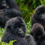 Hirwa gorilla family returns to Rwanda