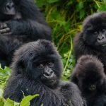 Hirwa gorilla family returns to Rwanda